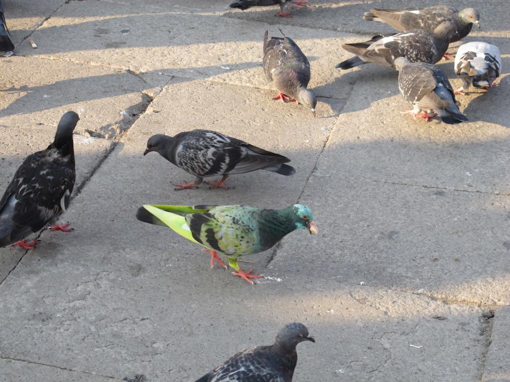 E encontramos dois pombos lindos, um verde e um azul!