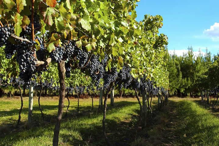 A vinícola fica localizada nos campos de altitude de Santa Catarina, que reúne características ímpares de solo e clima, excelentes para o desenvolvimento dos vinhedos.